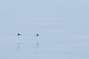 Uria aalge  Common Murre   3