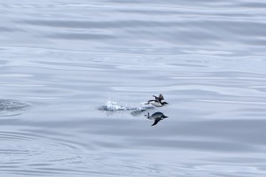 Uria aalge  Common Murre   4