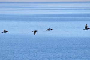 Uria aalge  Common Murre   7